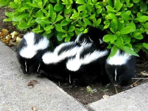 Skun Y 2 5 our beautiful baby skunk doovi
