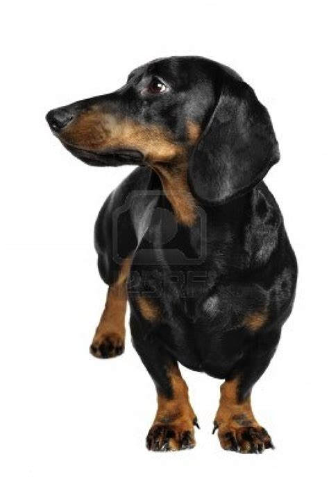 wiener breed the gallery for gt miniature dachshund blue
