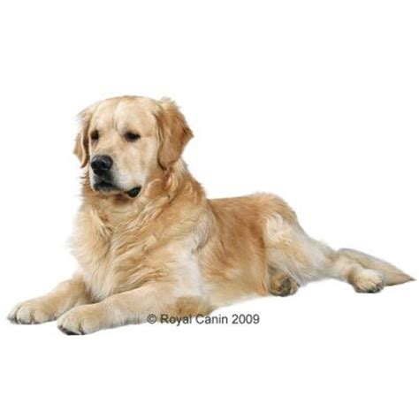 golden retriever food guide royal canin golden retriever great deals at zooplus