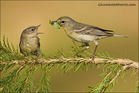 photo pine warbler feeding fledgling
