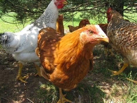 Backyard Chickens San Jose Broiler Backyard Chickens