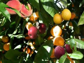 salad fruit tree the science of pomato plants and fruit salad trees
