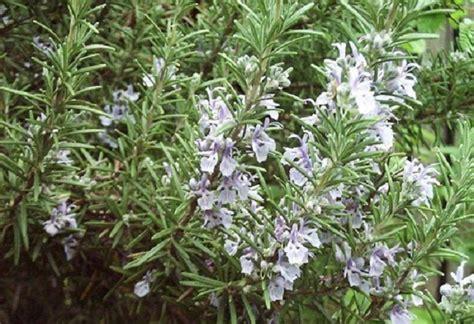 fiori rosmarino significato dei fiori il rosmarino pollicegreen