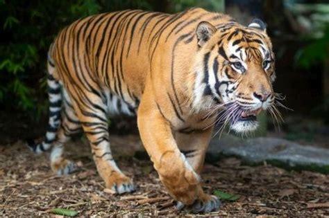 terpopuler  gambar harimau keren hitam putih gambar