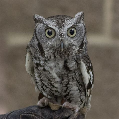 L Owl by Screech Owl Judy Lindo Photography