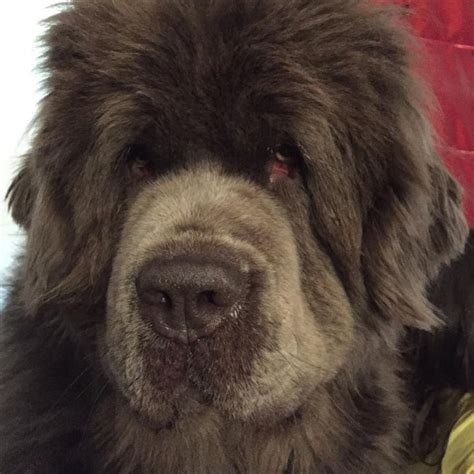 short haired newfoundland dogs pin by belinda piazza on newfoundlands pinterest