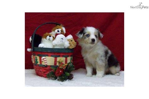 australian shepherd puppies kentucky miniature australian shepherd puppy for sale near louisville kentucky b9dda8ac bc21