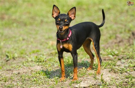puppy pin an introduction to the pinscher breeds pets4homes