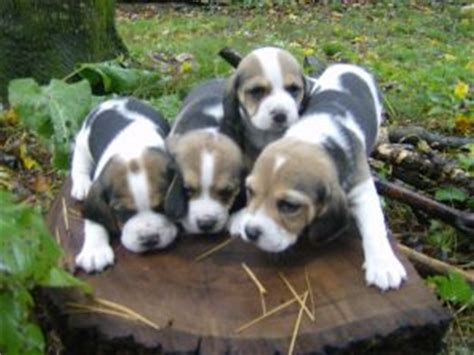 cheap beagle puppies for sale beagle puppies for sale cheap breeds picture
