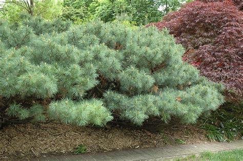 dwarf white pine pinus strobus nana  st charles
