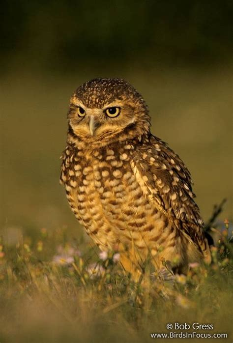 birds in focus burrowing owl