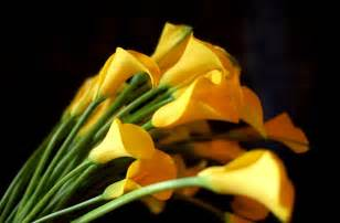 Yellow Calla Lily Yellow Calla Lilies Flowers Hd Wallpaper Flowers Wallpapers