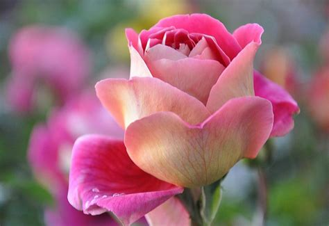 most beautiful pink roses hd wallpapers flowers pictures most beautiful flowers free nature screensavers and wallpaper