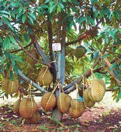 Jual Bibit Mangga Kiojay Di Surabaya 1000 images about fruit vegetable all on