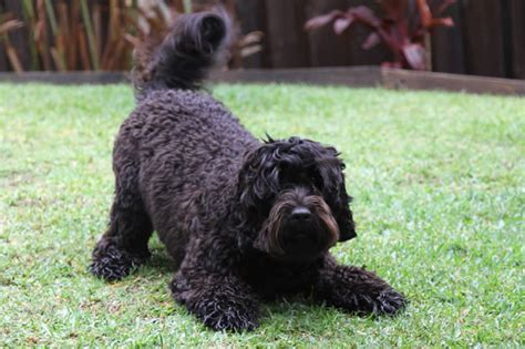 labradoodles puppies for sale vic mini groodle breeders 4k wallpapers