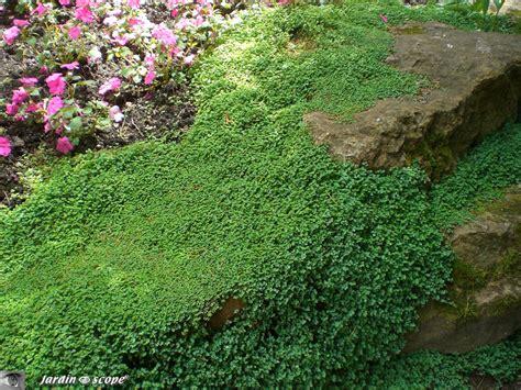 Plantes Tapissantes Sans Entretien by L Helxine Forme De Beaux Coussins Couvre Sol Le
