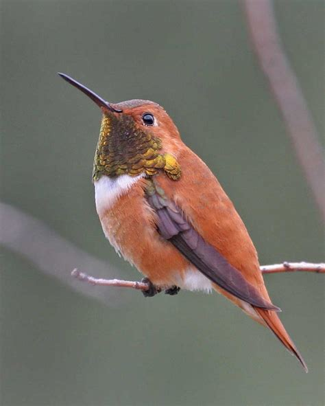rufous hummingbird audubon field guide