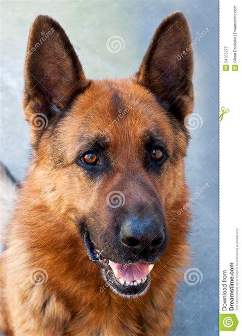 brown german shepherd puppy brown german shepherd stock photo image 54365277