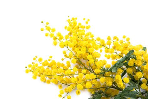 immagini mimosa fiore mimosa tree pictures images and stock photos istock