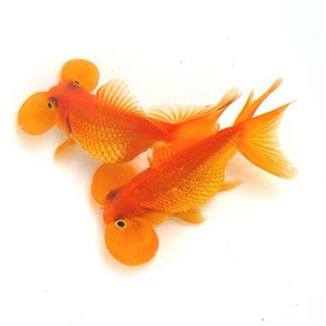 Ikan Discus White Uk 2 17 best images about aquarium fish on cichlids