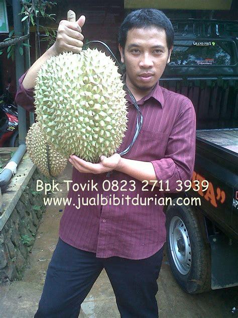 Bibit Buah Durian Montong durian montong bibit durian montong bibit durian unggul