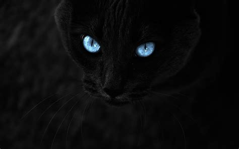 wallpaper cat eyes black cat with blue eyes 871579 walldevil
