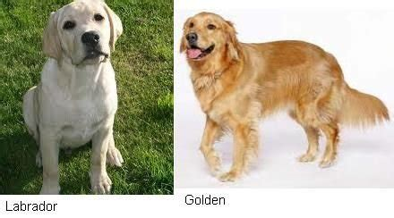 black lab vs golden retriever golden retriever vs labrador breeds picture