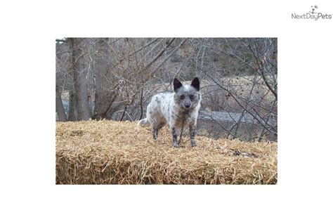 mini australian cattle puppies for sale meet mistys mini a australian cattle blue heeler puppy for sale