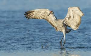 Image result for crane bird
