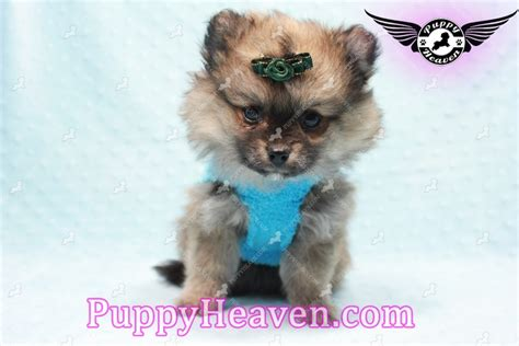 pomeranian puppies los angeles pin teacup poodle puppies for sale breeder ca on