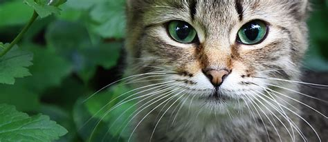 purpose of whiskers why do cats whiskers 7 facts about cat whiskers you never knew care