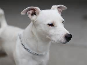 Unnamed all white jack russell terrier