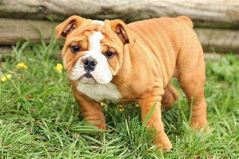 imagenes de boxer ingles buldogue ingl 234 s blog do cachorro