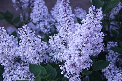 top 28 medium flowering shrubs shrubs with green
