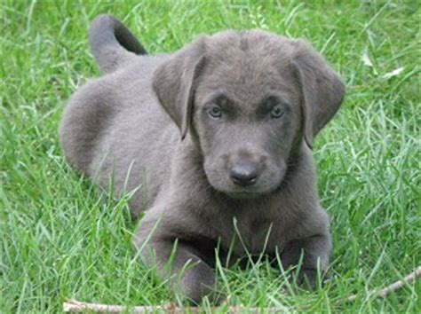 gray lab puppies gray lab puppies breeds picture