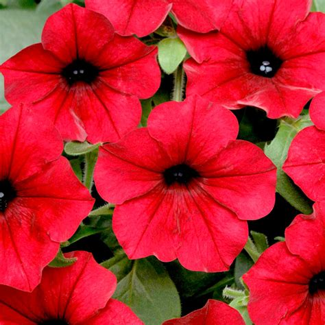 Wave And Flower petunia seeds f1 tidal wave velour flower seeds