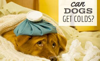 can dogs catch colds quot sick as a quot can dogs get colds