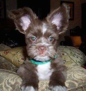 shih tzu pomeranian mix shiranian breed information and pictures