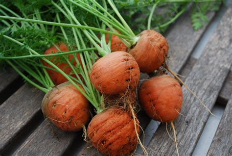 Growing Carrots in Containers, Container Carrots