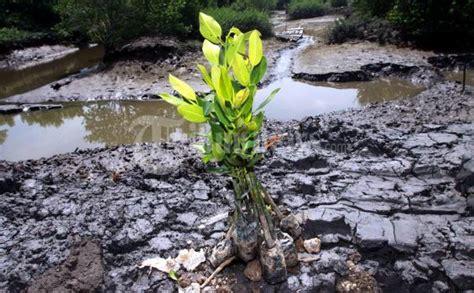 Bibit Eboni kecamatan simbang dan turikale ditanami ribuan bibit pohon