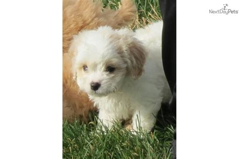 cavachon puppies for sale in indiana cavachon puppy for sale near bloomington indiana 8497f05f 8c61
