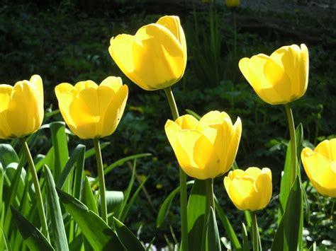 info lengkap mengenai bunga mawar selingkaran com info lengkap mengenai bunga tulip selingkaran com