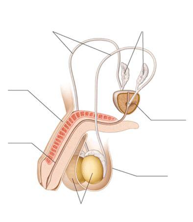 partes del pene pene thinglink