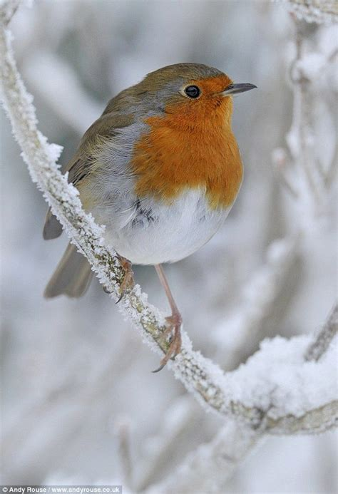 robin in snow photography no nudity pinterest