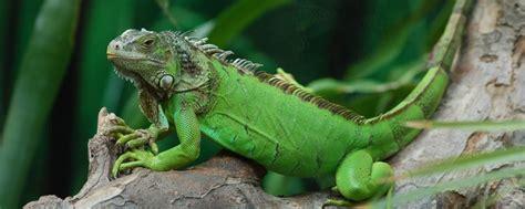 imagenes iguanas verdes iguana verde todo lo que necesitas saber sobre este