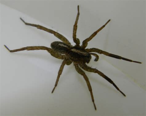 wolf spider images wolf spider michigan spiders