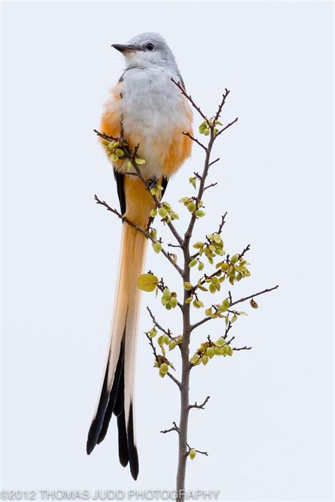 scissortail chatter audubon dallas bird talk forums
