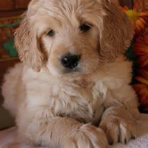 average lifespan of a goldendoodle goldendoodle so much of it seems to me is