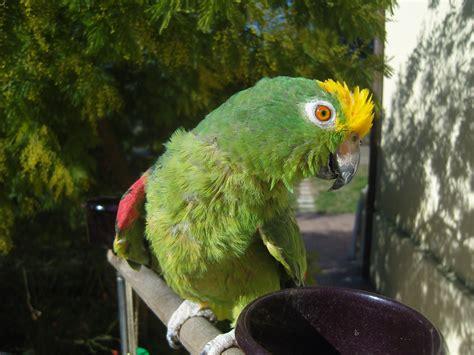 amazzone testa gialla galleria foto pappagalli allevati a mano parrot factory