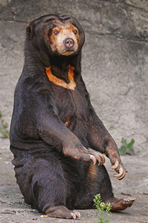 bear s during feeding the sun bear also known as honey bear